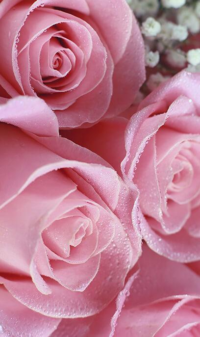 Le parfum de la rose délicate